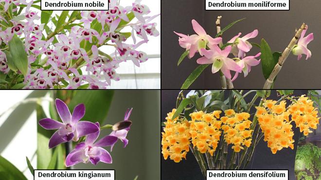 Разновидности дендробиума
