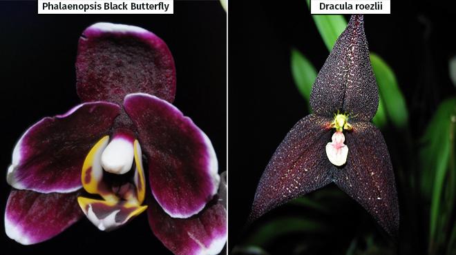 Черные орхидеи