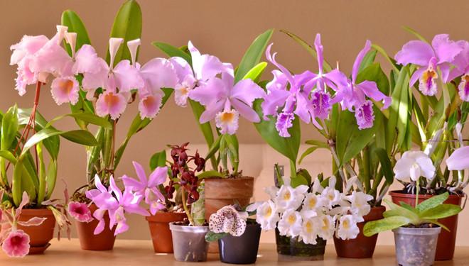 Орхидеи цветущие