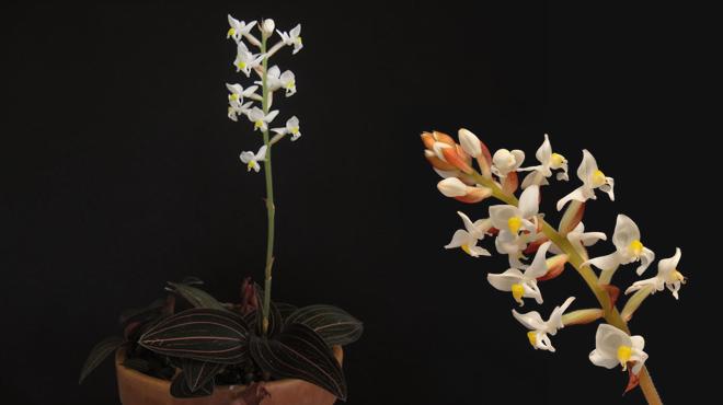 Орхидея Лудизия драгоценная