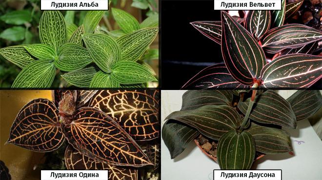 Разновидность драгоценной орхидеи