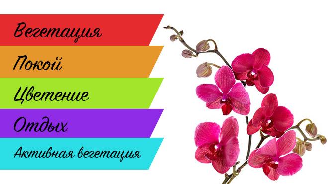 Фазы жизни орхидеи