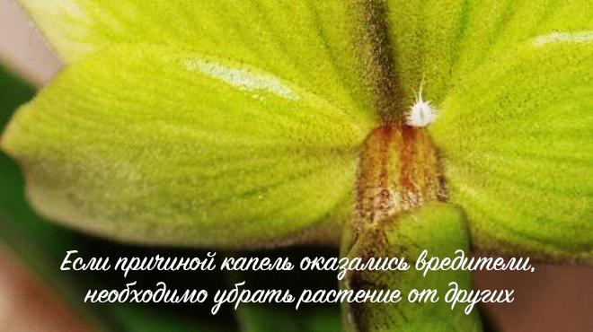 Вредители на цветке