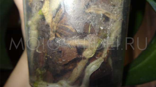 Загнившие корни в горшке