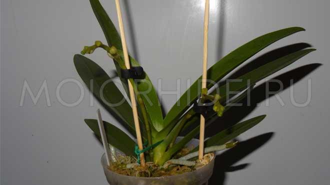 Фаленопсис перед цветением