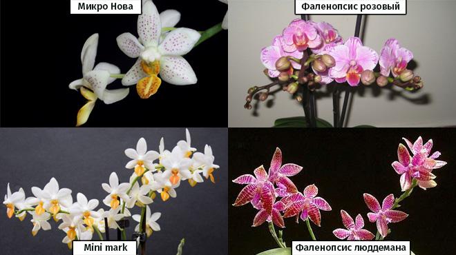 Виды мини орхидей