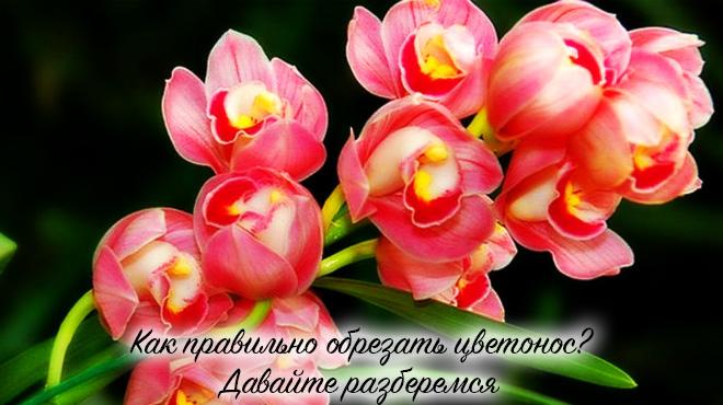 Обрезка орхидеи цветоноса