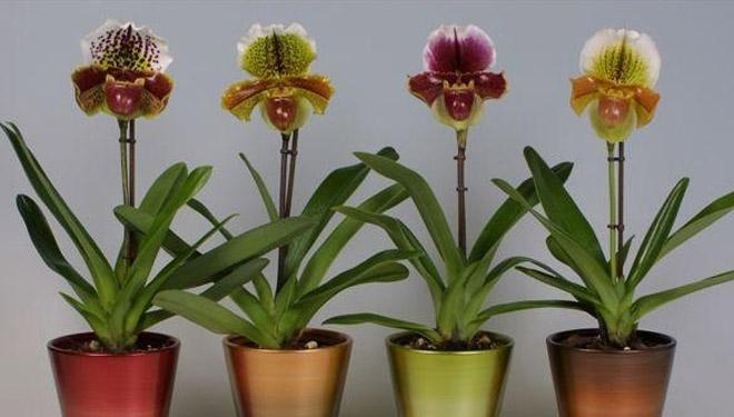Орхидея Пафиопедилум (венерин башмачок ) описание и уход в домашних условиях