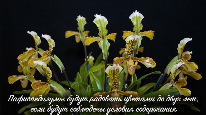 Пафиопедилум цветение