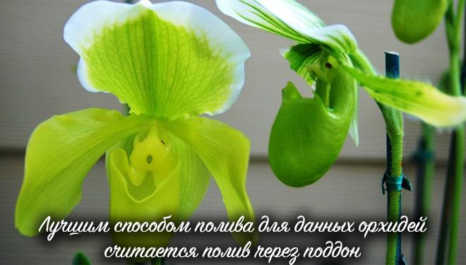 Зеленый башмачок