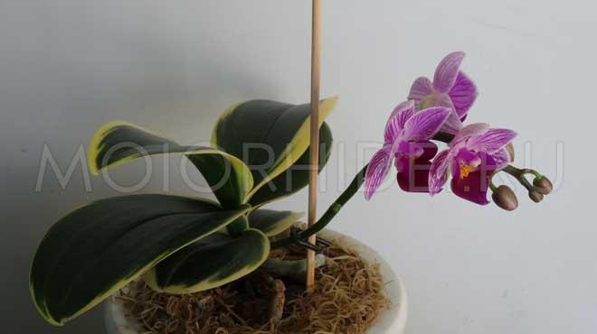 Цветущая мини орхидея