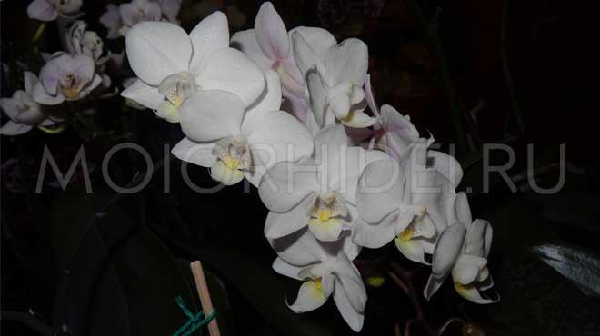 Белые цветы орхидеи миди