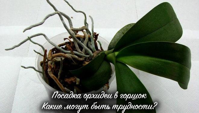 Орхидея перед посадкой