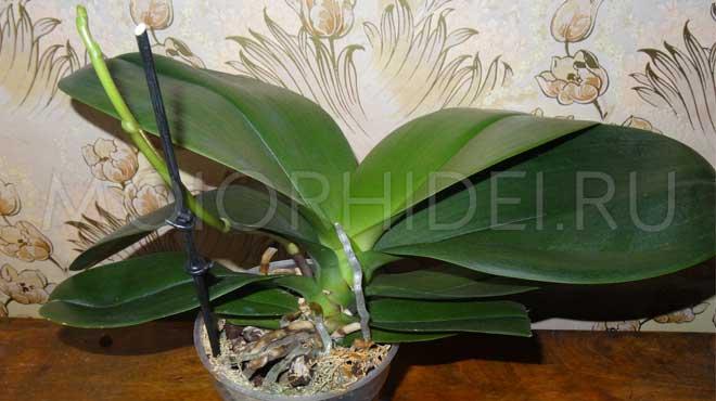 Что делать после того как орхидея отцвела