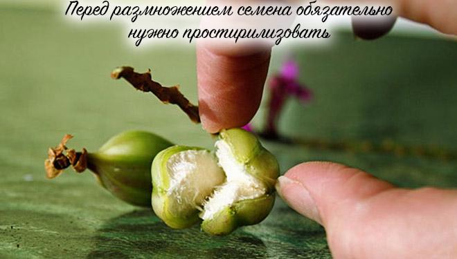 Семена фаленопсиса