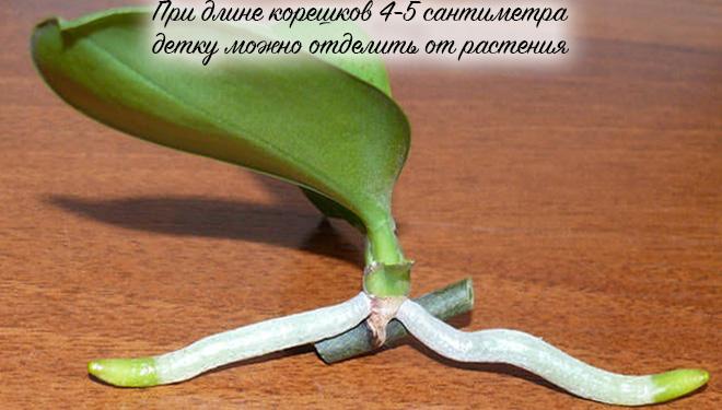 Как пересадить детку орхидеи с корнями