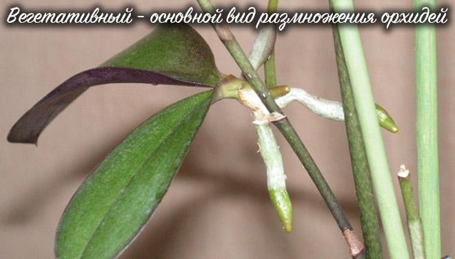 Вегетативное размножение орхидеи