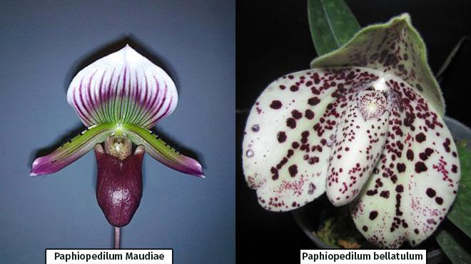 Виды Пафиопедилума