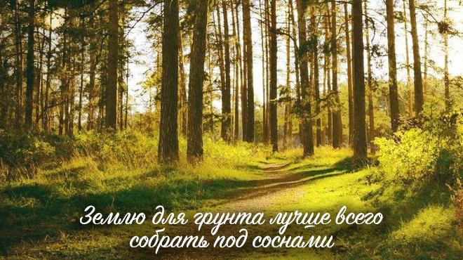 Сосны в лесу
