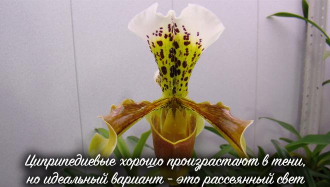 Желто-белый венерин башмачок