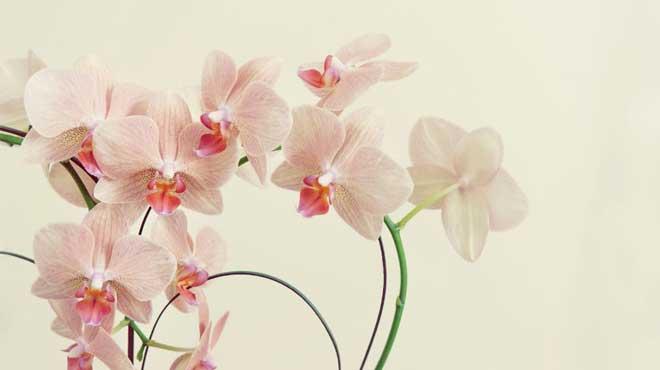 Бледно розовые цветы орхидеи