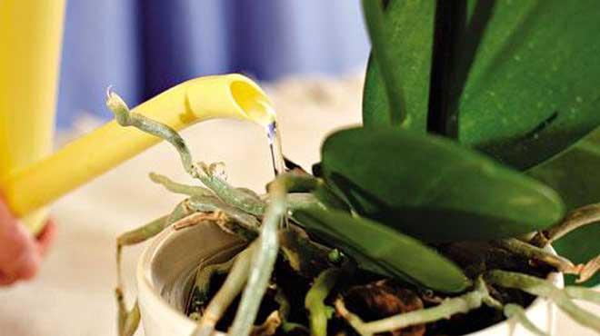 Желтая лейка и фаленопсис