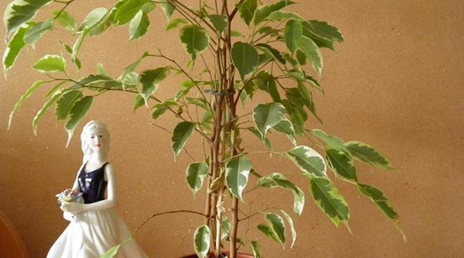 Мало листьев на фикусе