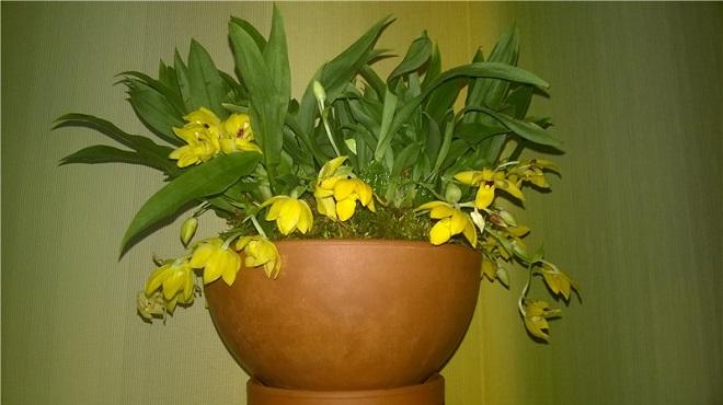 Орхидея Променея