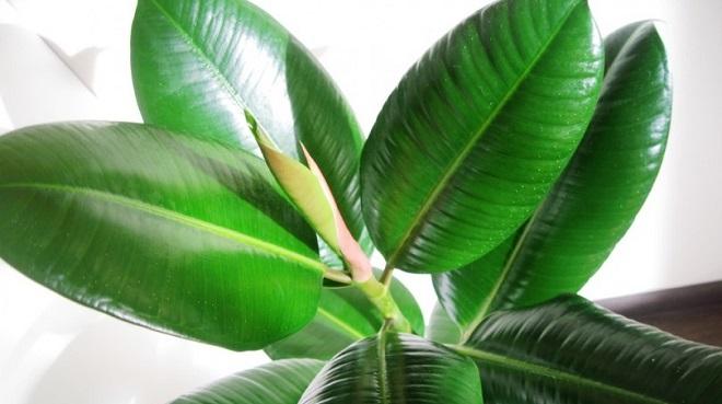 Робуста имеет крупные тёмно-зелёные листья