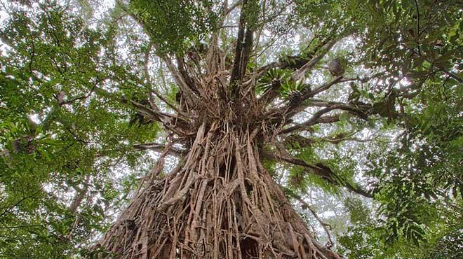 Бенгальский фикус в природе