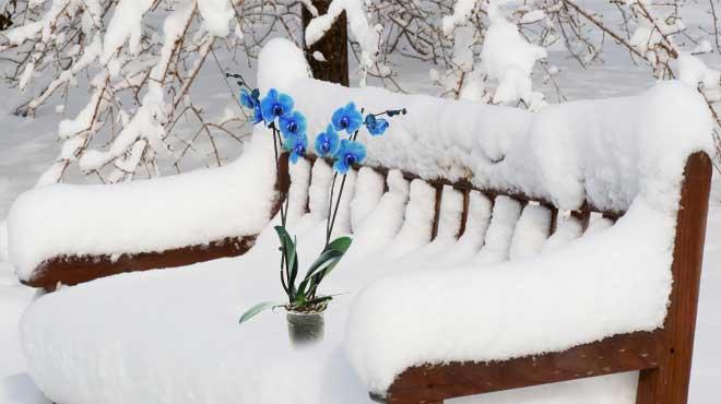 Фаленопсис на лавочке в снегу