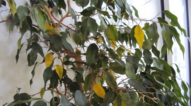 Начали желтеть листья дерева