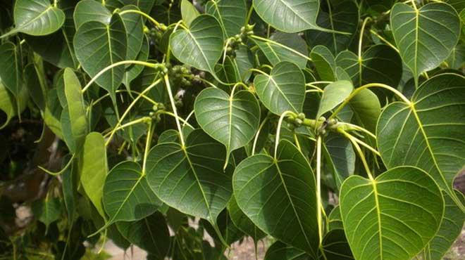 Листья священного фикуса