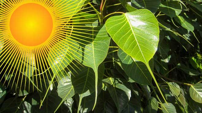 Листья фикуса священного, солнце