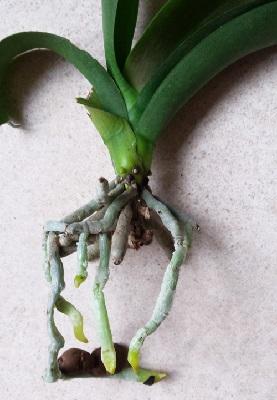 Корешки орхидеи