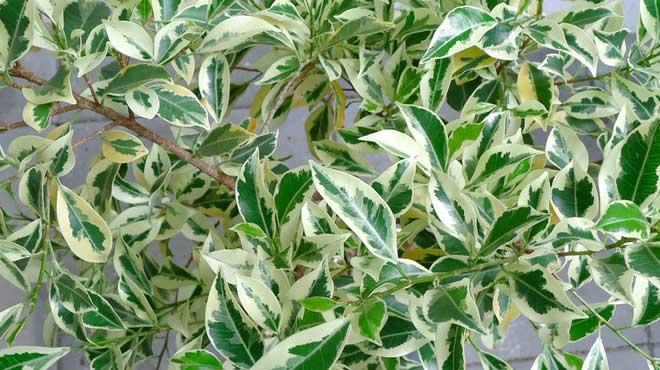Ветви пестролистного фикуса