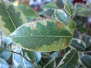 Щитовка повредила листья Бенджамина
