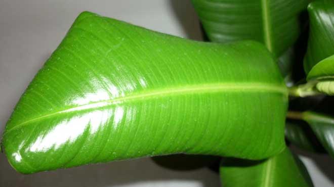 Скрученный лист фикуса