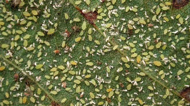 Скопление тли на листе фикуса
