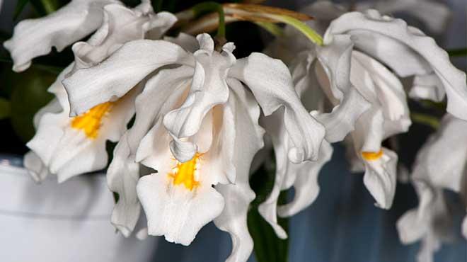 Цветы орхидеи Целогина