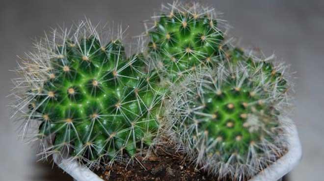 Высаженная детка кактуса