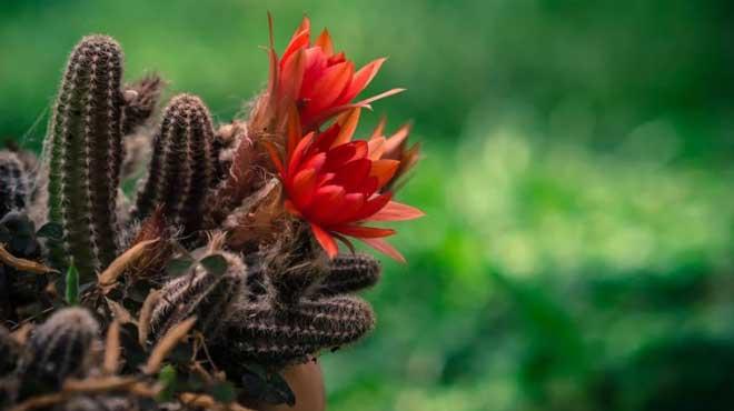 Красный цветок кактуса