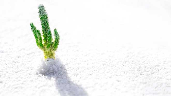 Кактус в снегу