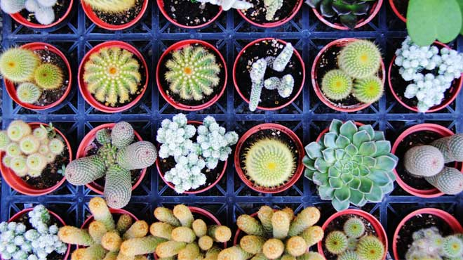 Много кактусов в горшках