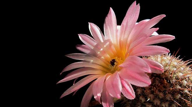 Цветок нотокактуса