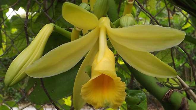 Цветок орхидеи Валиль