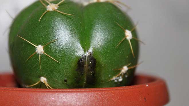 Черная гниль на кактусе