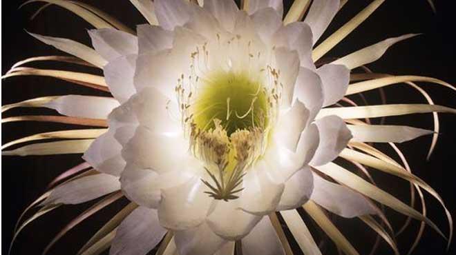 Цветок цереуса