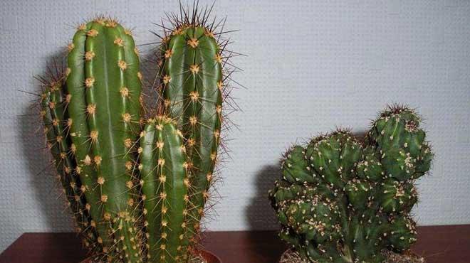 Два вида цериуса перуанского