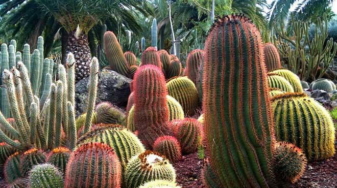 Много видов кактусов
